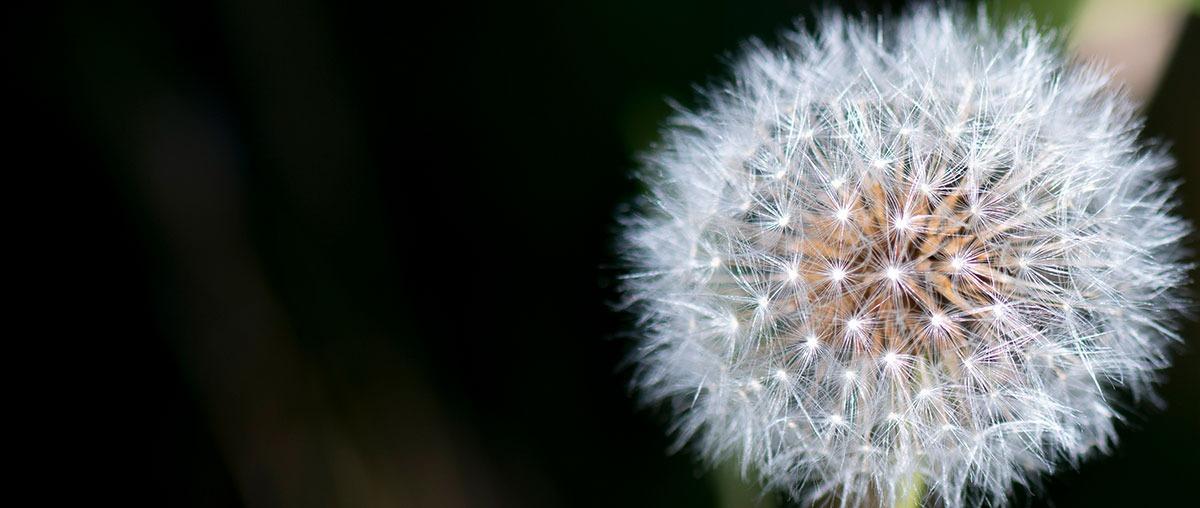 Photo d'une fleur de pissenlit